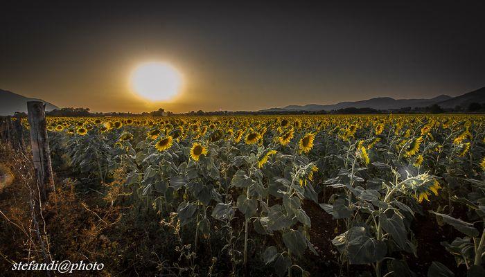 girasoli al tramonto