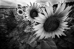 Girasoli in bianco e nero*