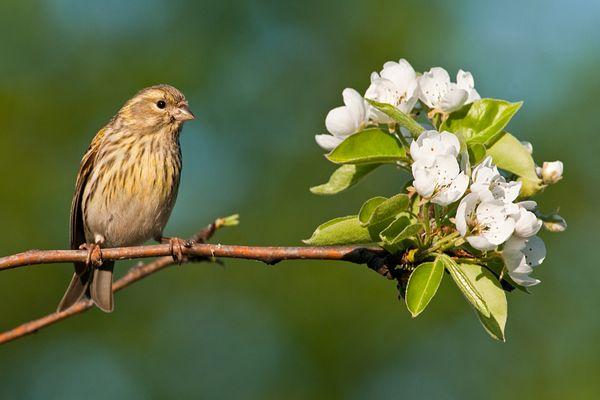 Girlitz mit Birnenblüten