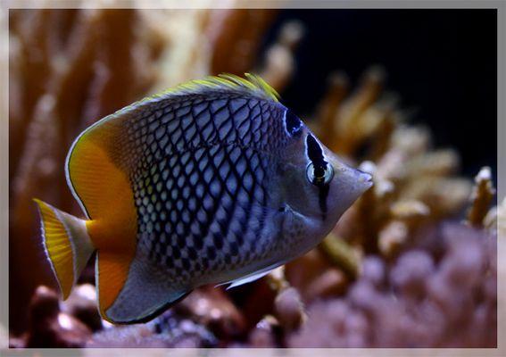 Gitter Orangenfalterfisch (chaetodon Xanthurus)