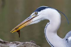 Give me an A, heron!