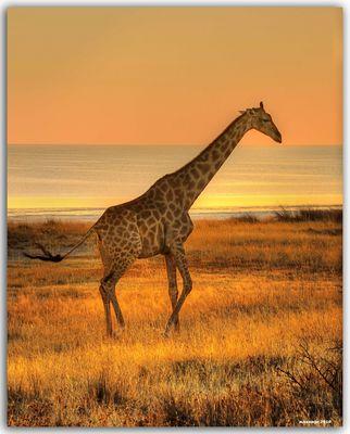 GJIRAFA AL TROTE -ETHOSA NAMIBIA (dedicada a todos los amantes de Africa)