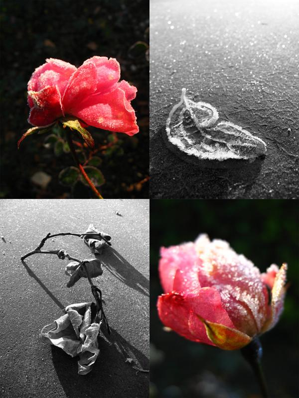 glace à la rose...