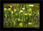 Glacier Lily ....