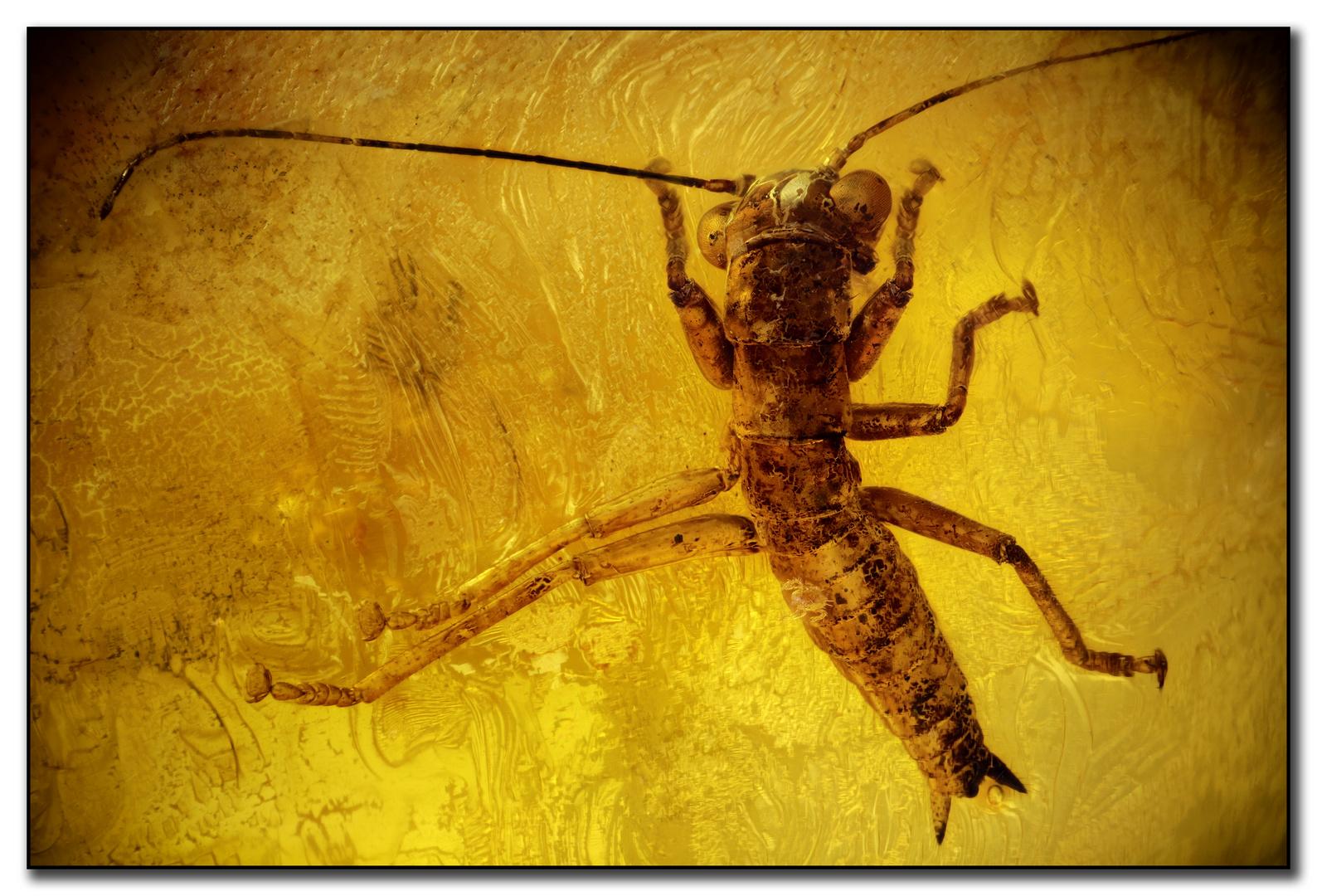 Gladiatorschrecken (Mantophasmatodea) im Bernstein