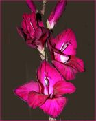 Gladiole Bordeaux