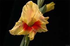 Gladiole - Schwertblume - Gladiolus