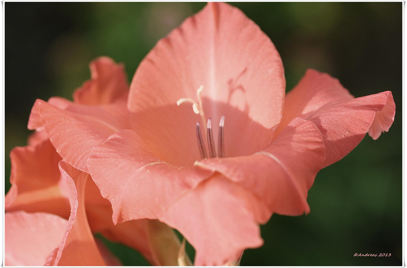 Gladiolenblüte im Abendlicht