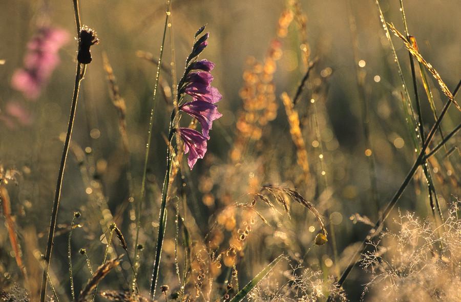 Gladiolenwiese am Morgen