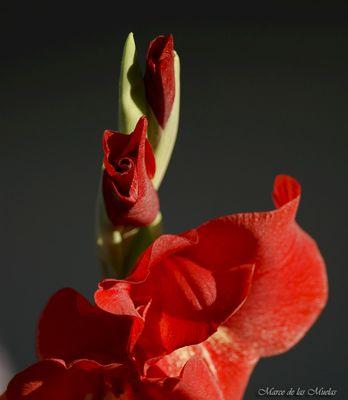 ...gladiolos rojos para Manuel....