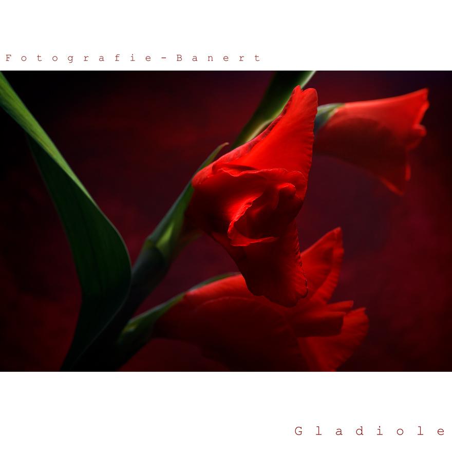 -Gladiolus-