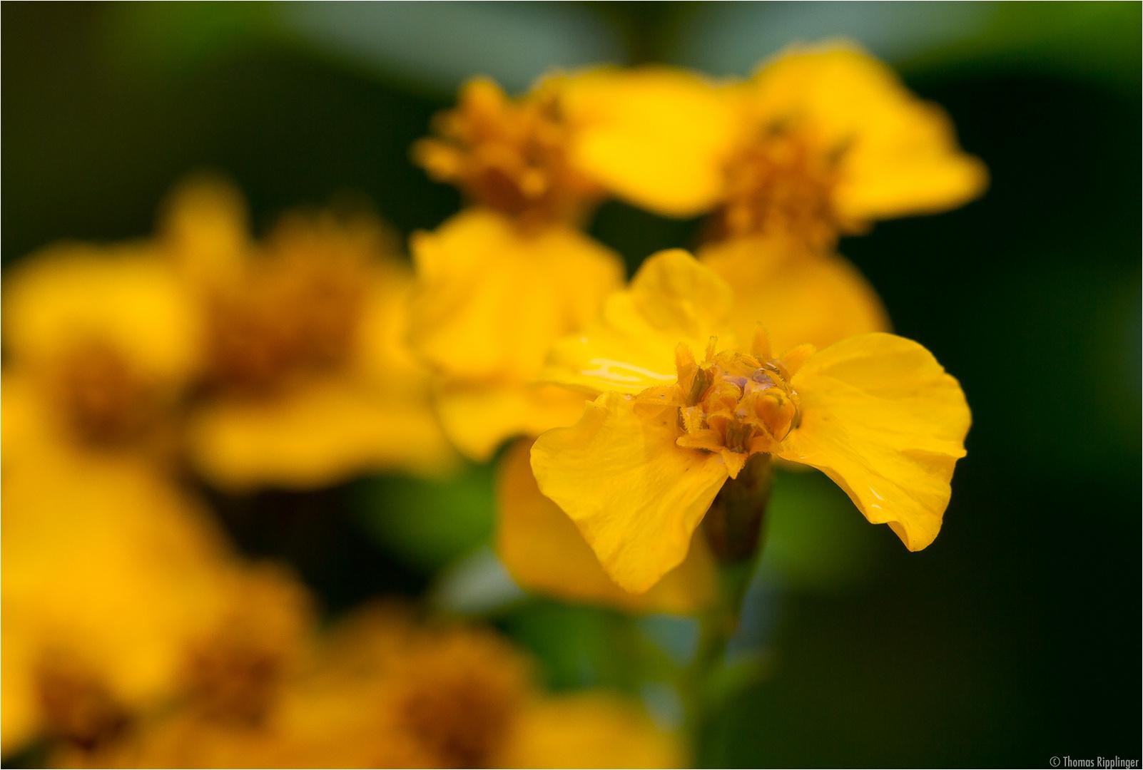 Glänzende Studentenblume (Tagetes lucida).