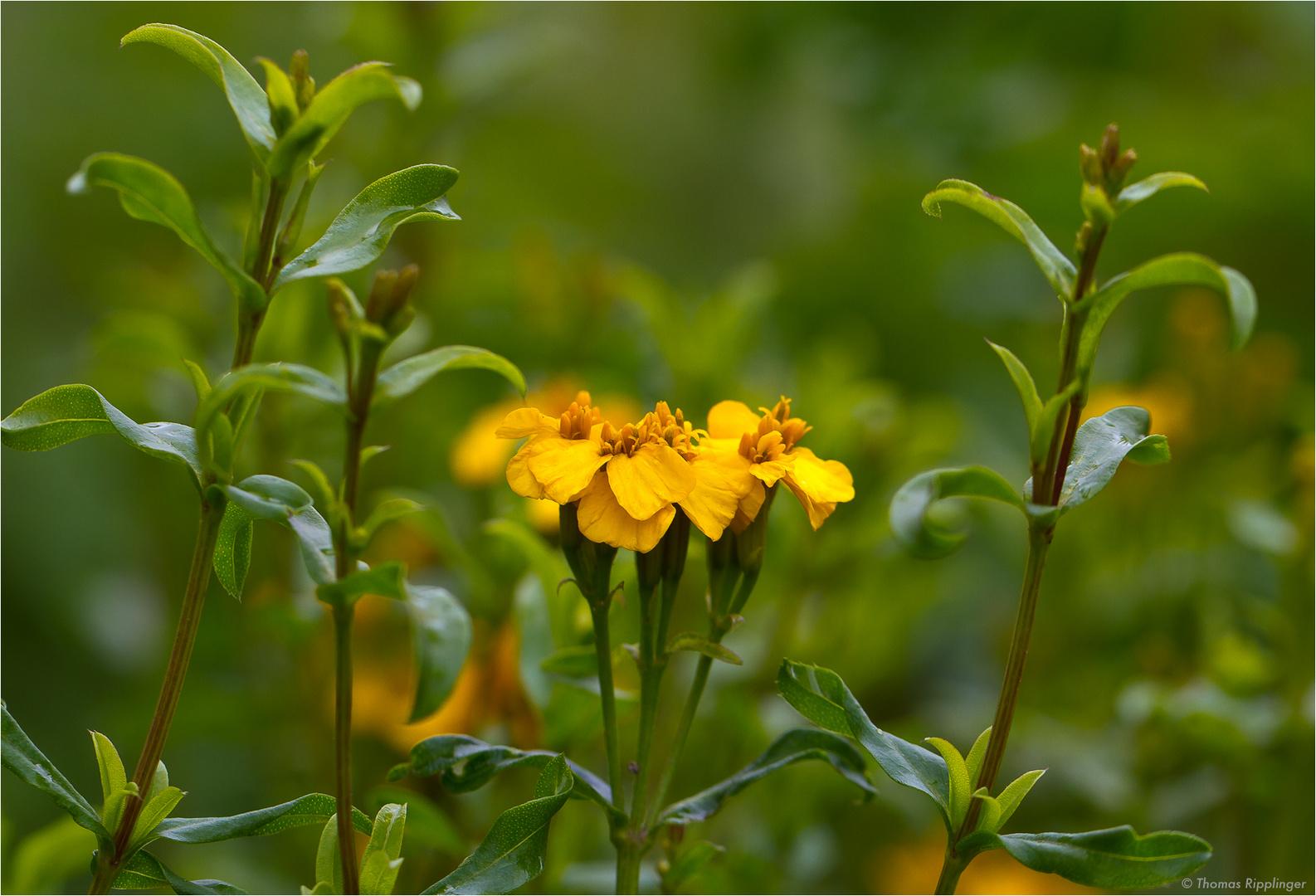 Glänzende Studentenblume (Tagetes lucida)... D