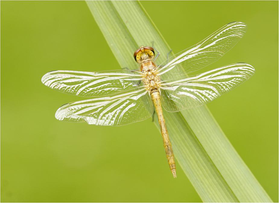 Gläsernde Flügel