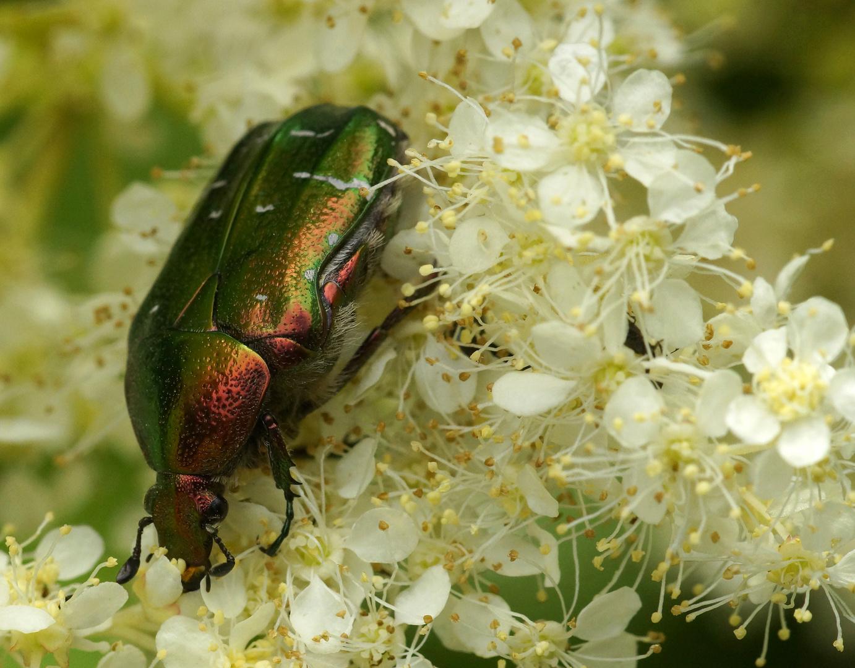 Glamour-Käfer