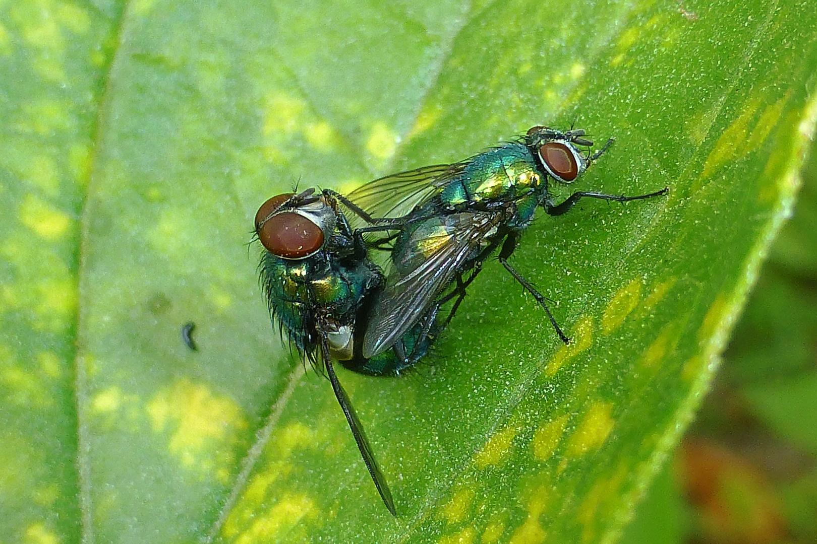Glanzfliegenproduktion