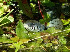 Glanzvoll nach der Häutung,zeigte sich die Ringelnatter in meinen kleinen Teich.