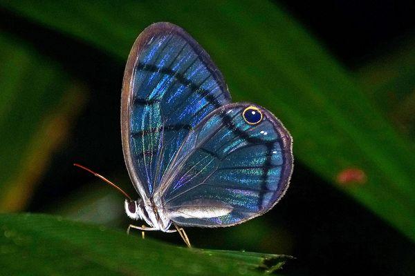 Glasfalter in Costa Rica