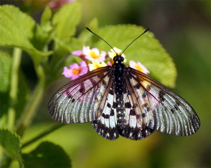 Glasflügel-Schmetterling