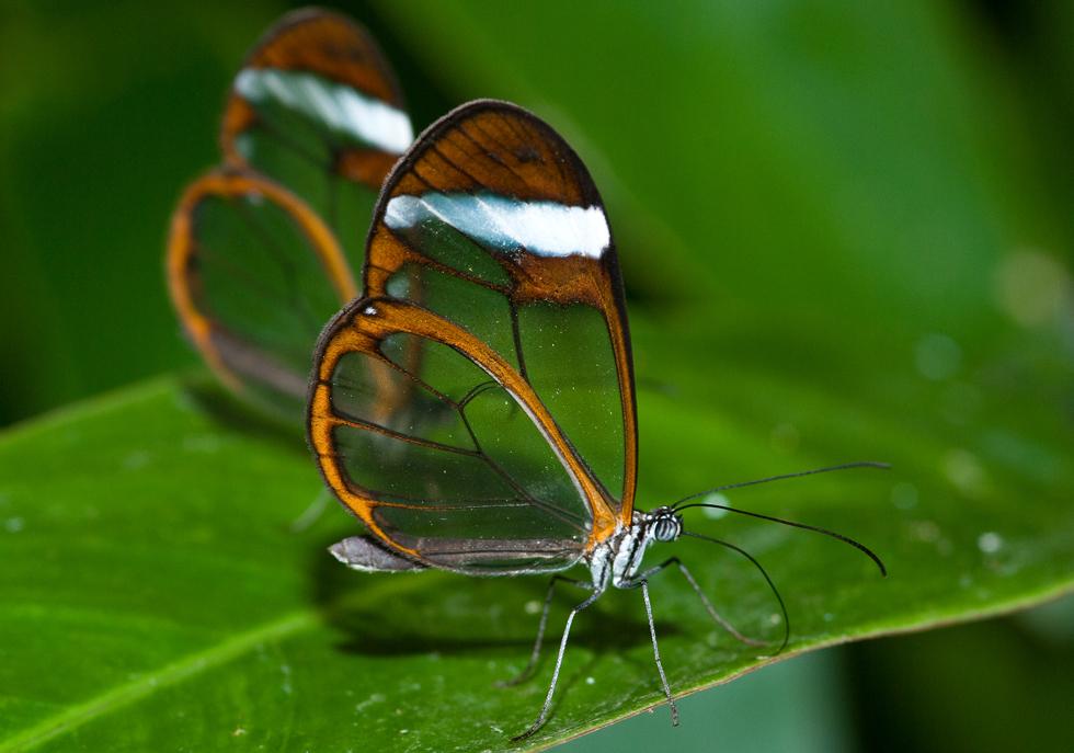 Glasflügler