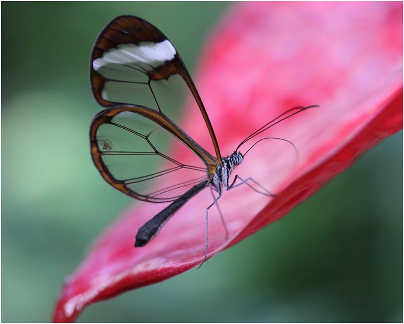 Glasflügler an der Blüte einer Flamingoblume