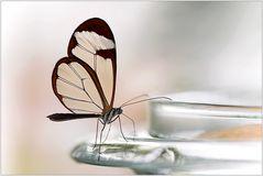 Glasflügler an Glasschale