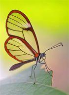 Glasflügler (Greta oto) -für mich einer der interessantesten Falter