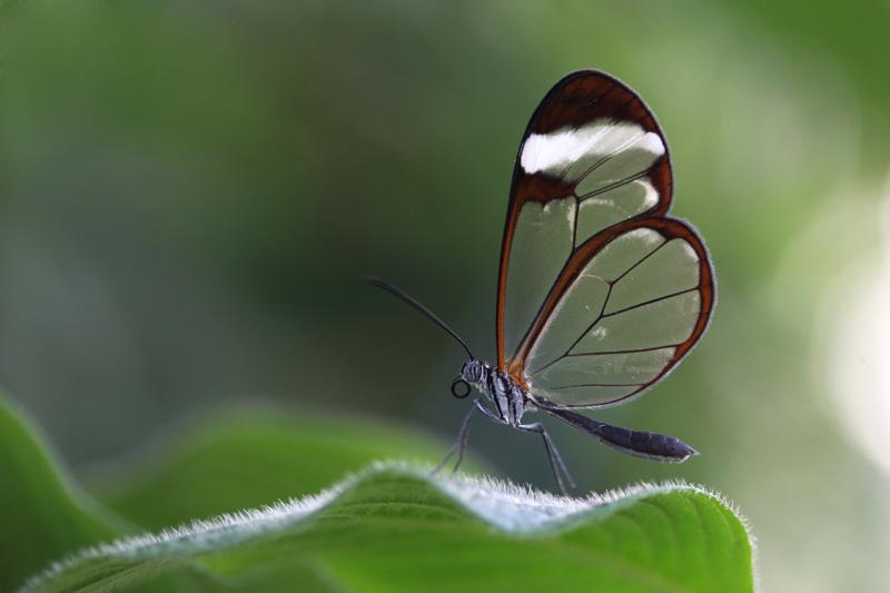Glasflügler im grünen Paradies.....