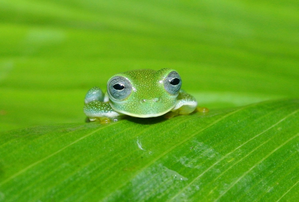 Glasfrog
