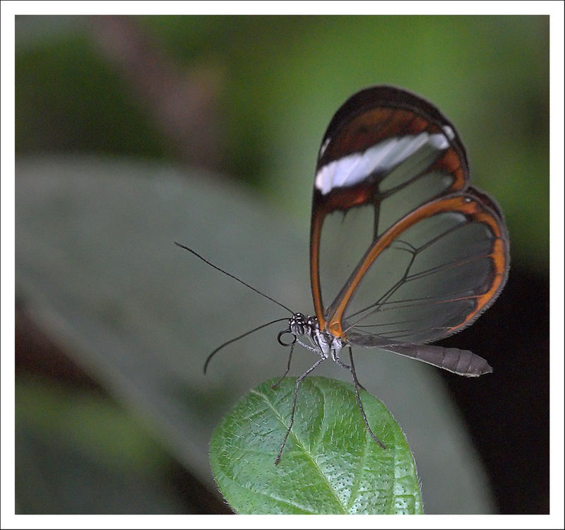 Glasswing Beauty