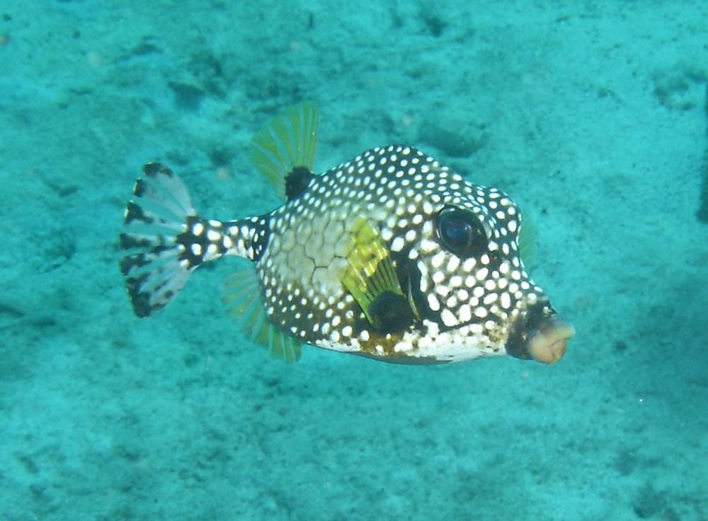Glatter Kofferfisch