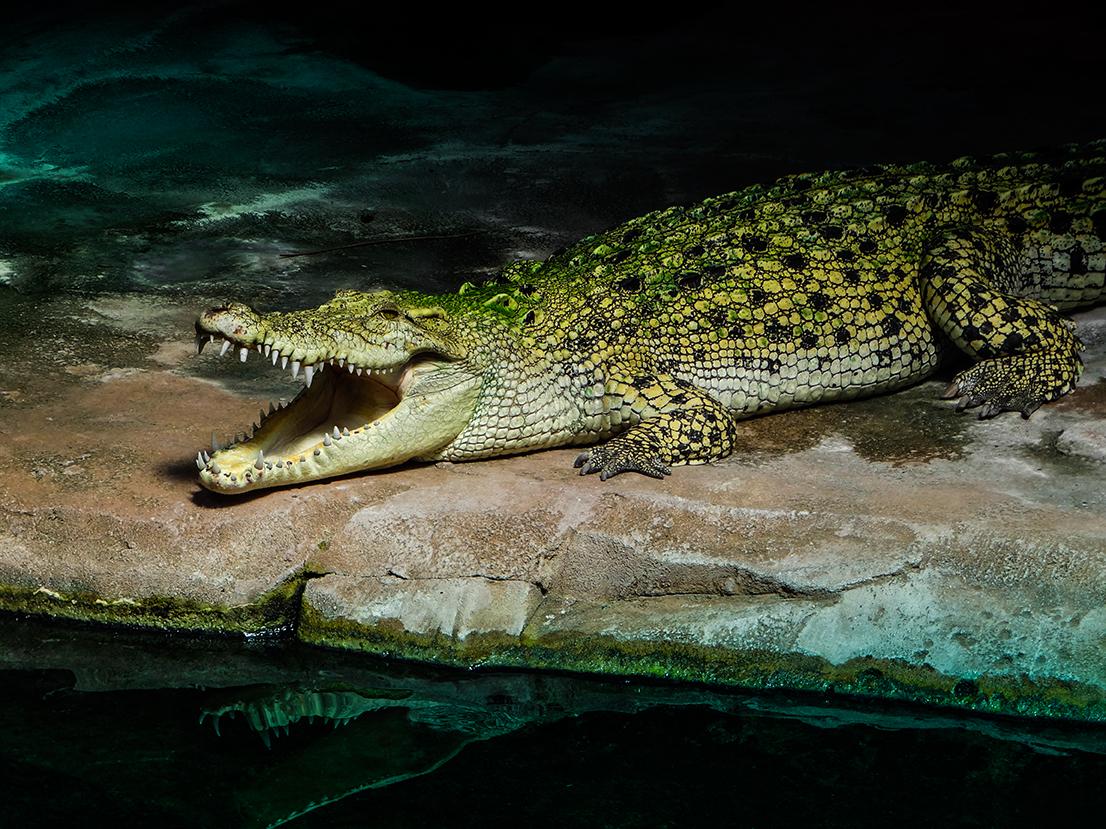 Gleich schnappt er zu! Hungriges Krokodil in der Stuttgarter Wilhelma