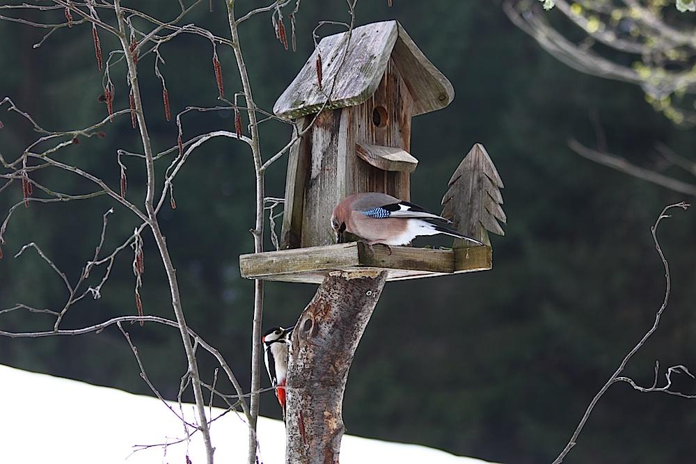 Gleich zwei Schönheiten am Vogelhaus