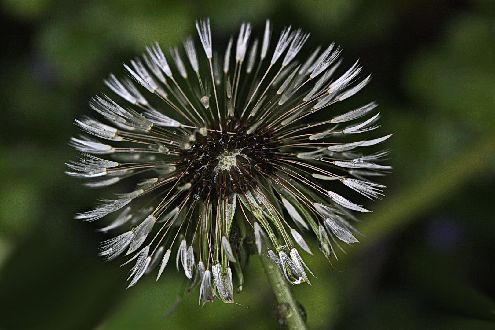 gleichmäßiges Abblühen der Pusteblume