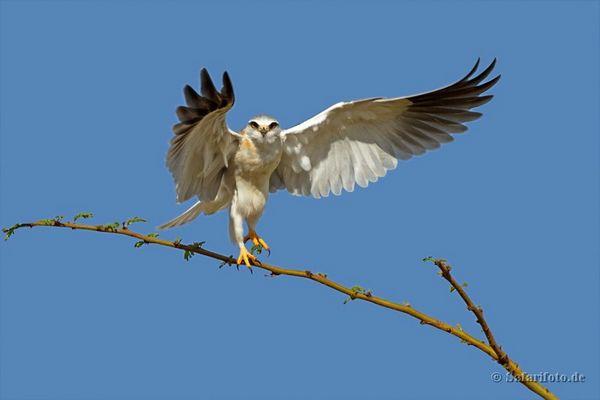 Gleitaar - Black-shouldered Kite