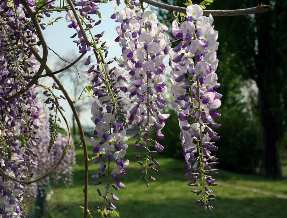 glicine, i primi fiori