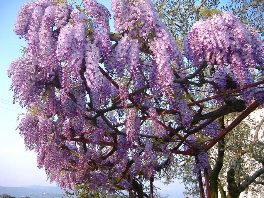Glicine in fiore