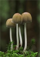 Glimmer-Tintling (Coprinellus micaceus)