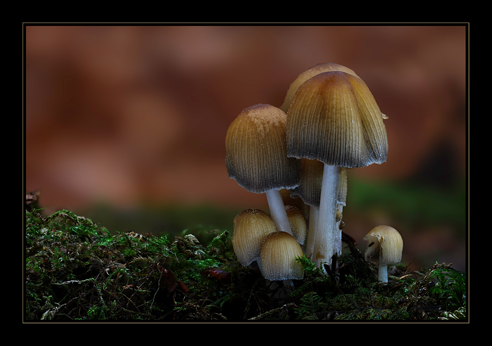 Glimmertintling (Coprinus micaceus) - reloaded