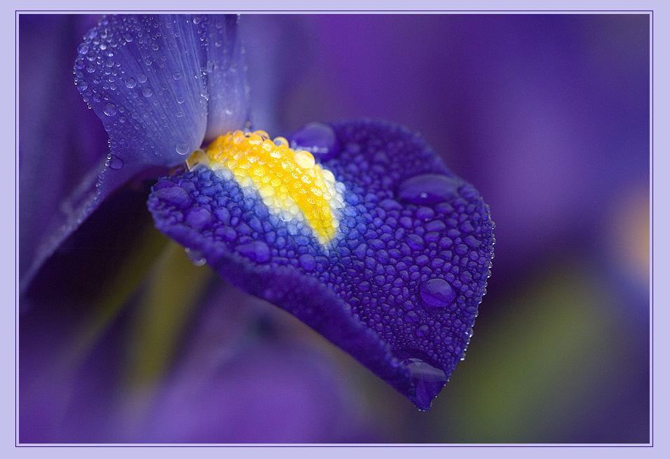 Glitzernde Iris ;o)