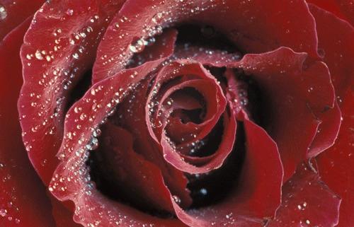 glitzernde Rose