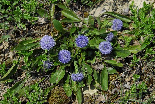 Globularia bisnagarica - die gewöhnliche Kugelblume