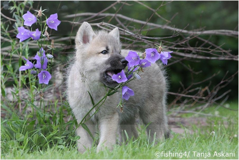 glockenblume foto bild tiere tierkinder polarwolf bilder auf fotocommunity. Black Bedroom Furniture Sets. Home Design Ideas