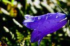 Glockenblume mit Wassertropfen