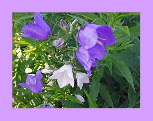 Glockenblumen, mal weiß, mal blau