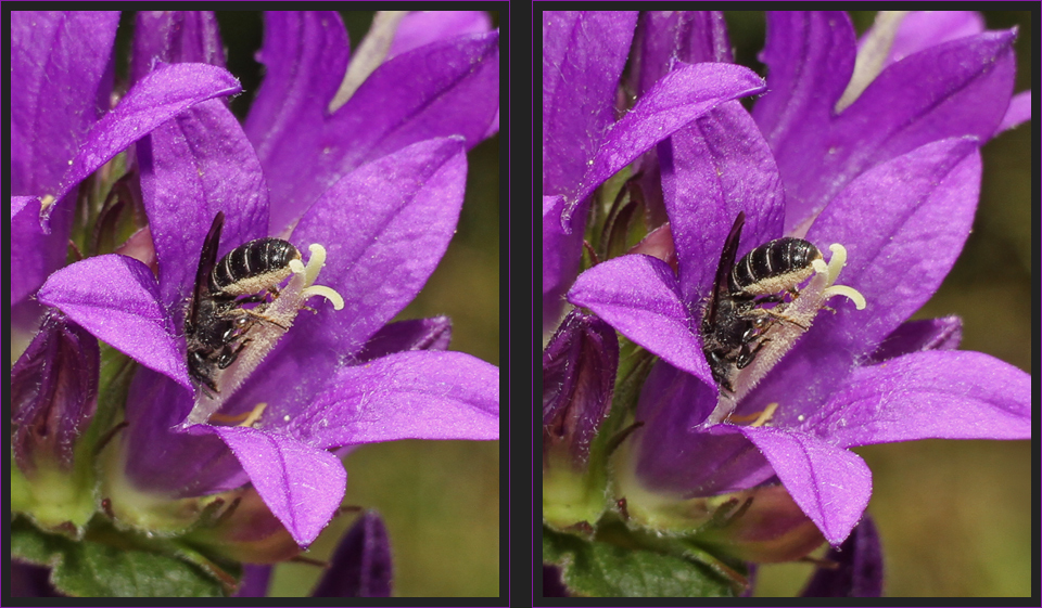 Glockenblumen-Scherenbiene [3D]