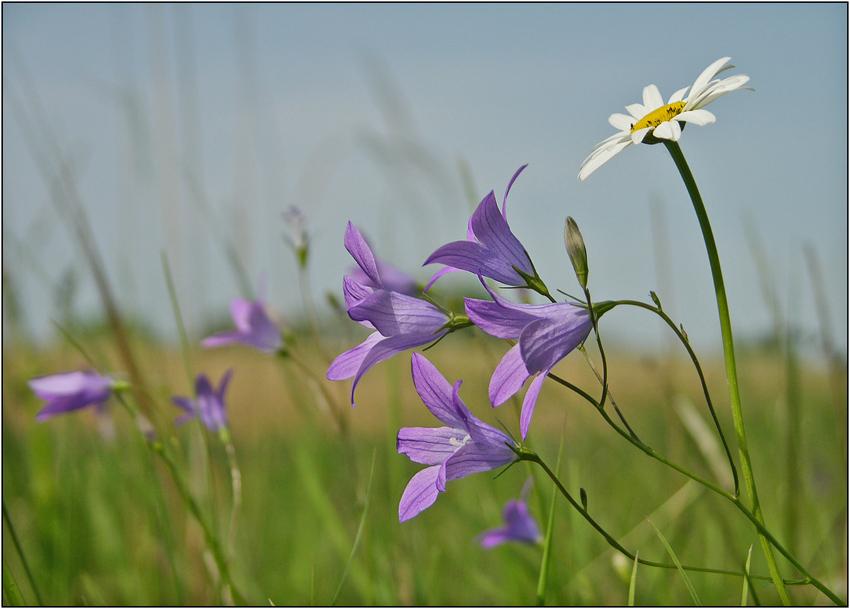 Glockenblumenwiese