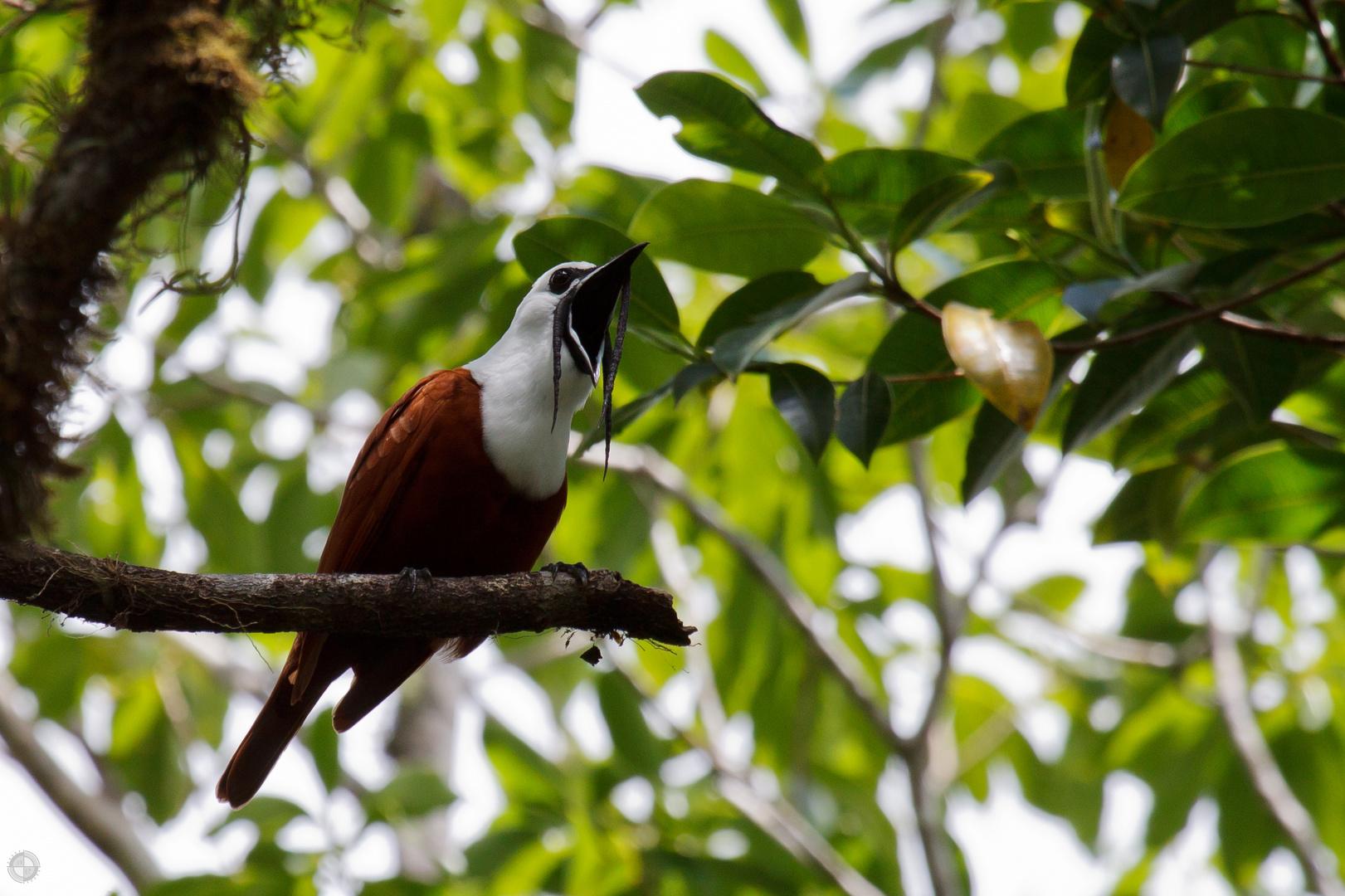 Glockenvogel