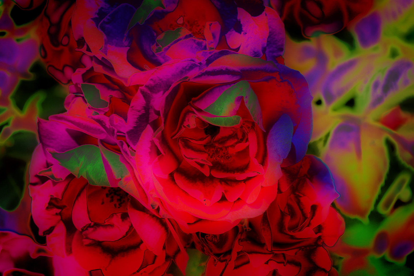 Glowing Roses