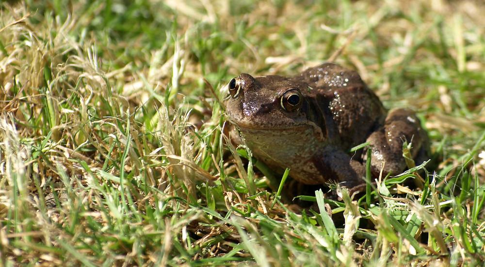 Glück braucht der Frosch...